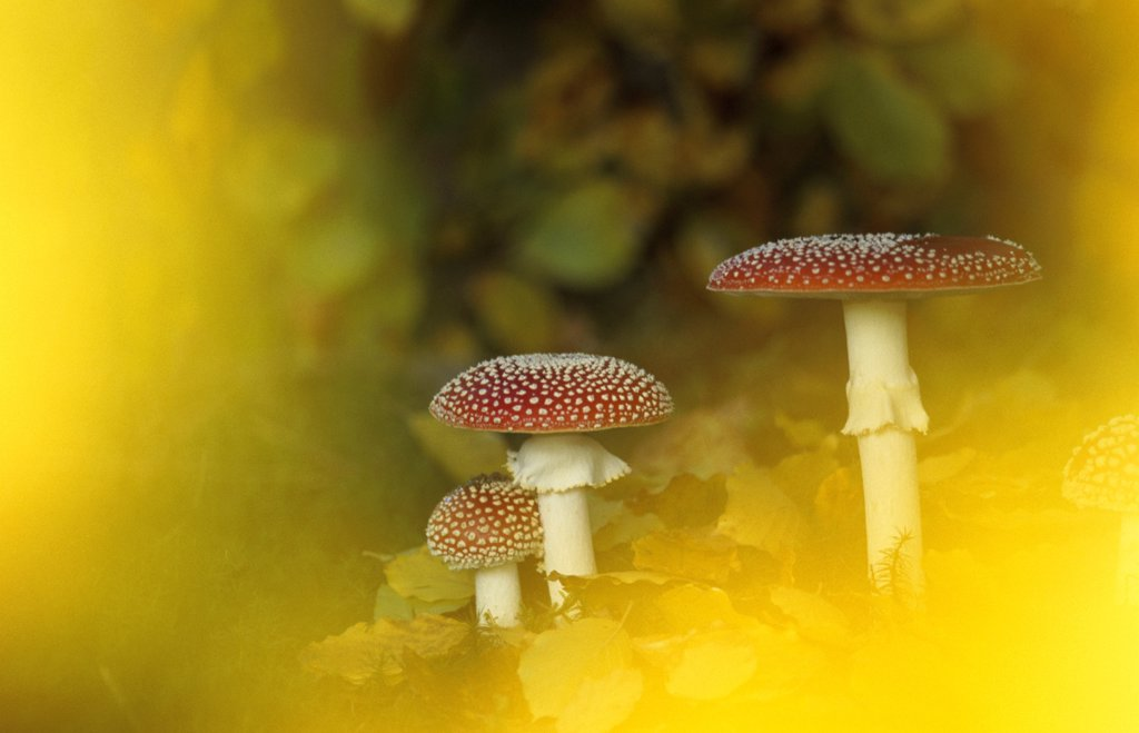 Stock Photo: 1815R-7135 Fly agaric mushrooms (Amanita muscaria) in autumn foliage