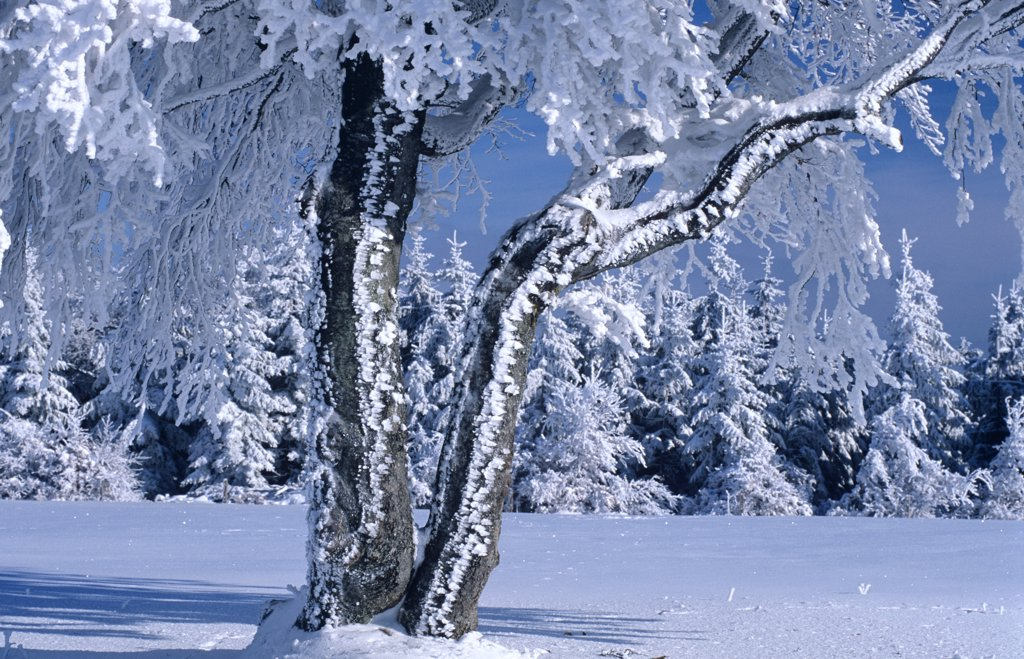Stock Photo: 1815R-7146 Germany, Black forest, snow-covered trees