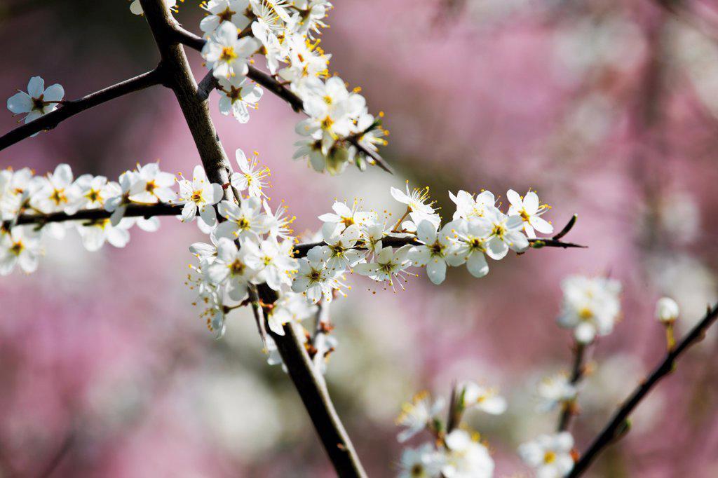 Germany, Flowering whitethorn : Stock Photo