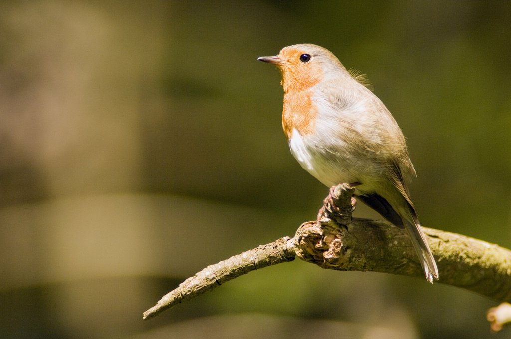Robin perched on branch (Erithacus rubecula) : Stock Photo