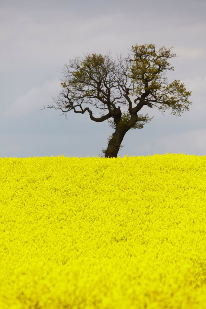 Hamburg, View of canola field : Stock Photo