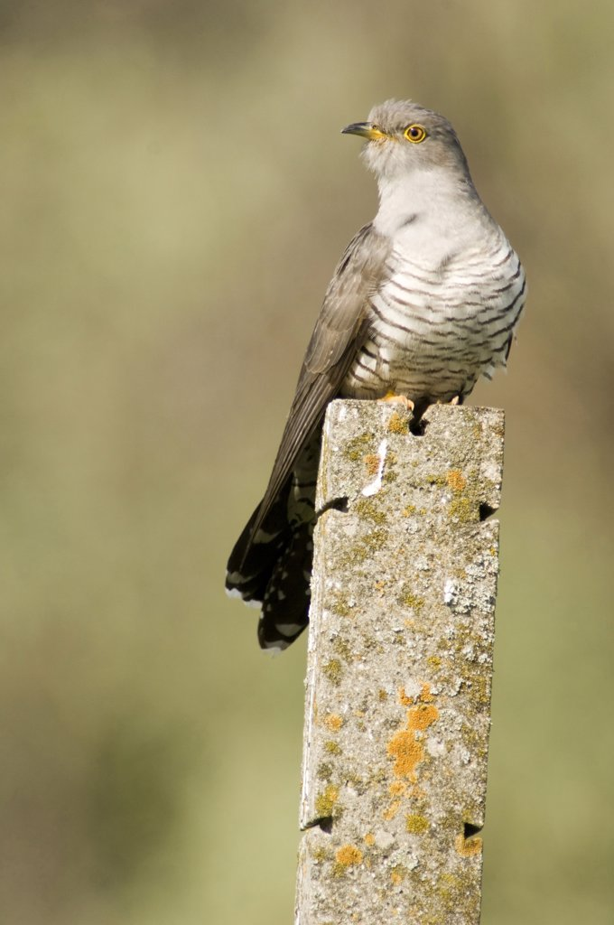 Stock Photo: 1815R-7345 Cuckoo, close-up