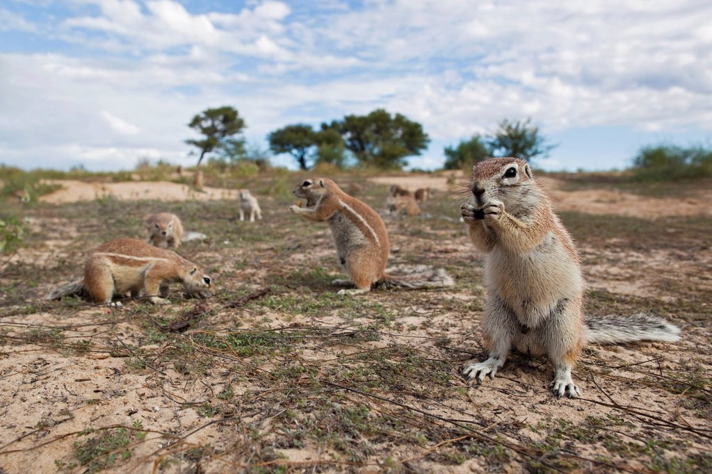 Stock Photo: 1815R-73930 Africa, Botswana, Mabuasehube, African ground squirrel at kgalagadi transfrontier park