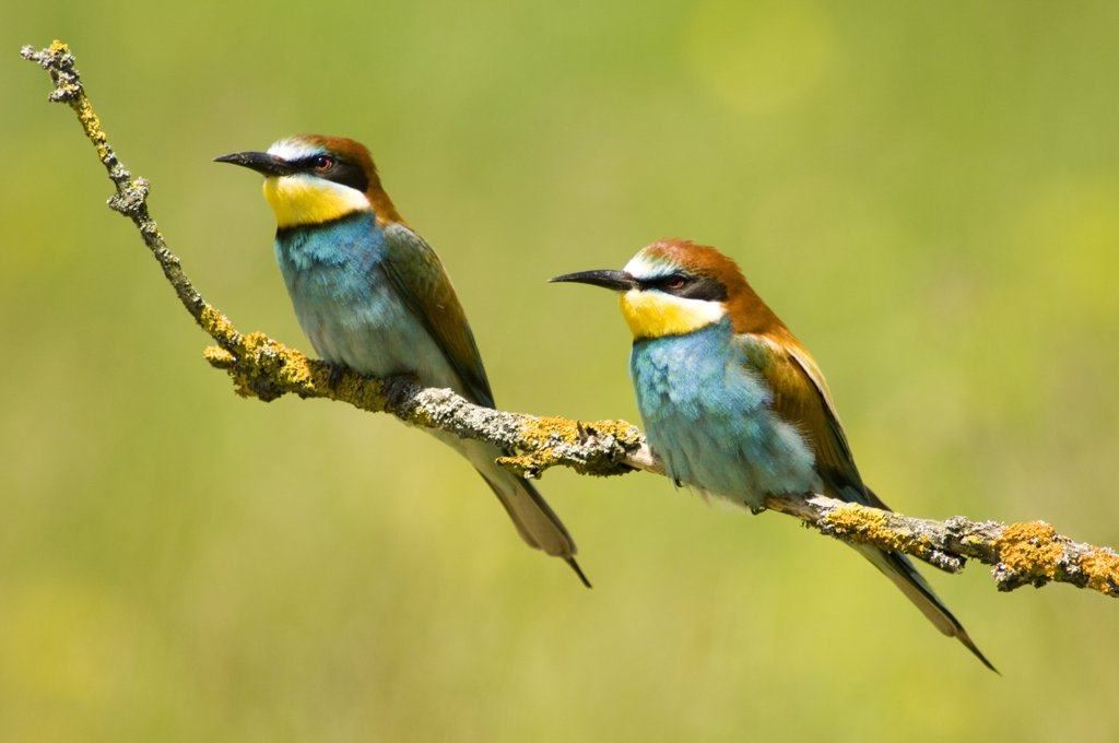 Stock Photo: 1815R-7407 Bee-eaters sitting on twig