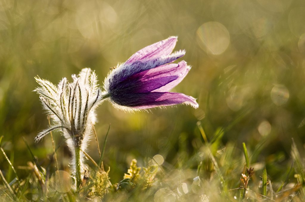 Pasque flower, close-up : Stock Photo