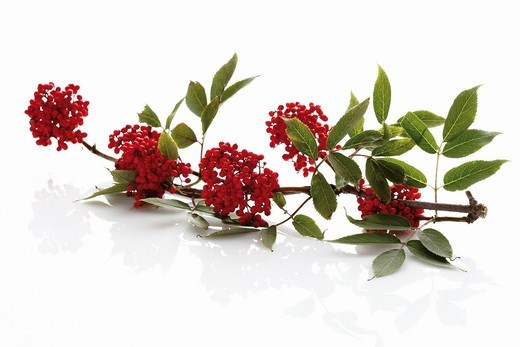 European red elder on white background : Stock Photo