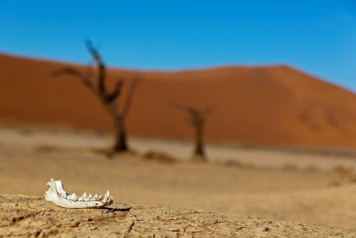 Africa, Namibia, Namib Naukluft National Park, Lower jaw of a Jackal in the namib desert : Stock Photo