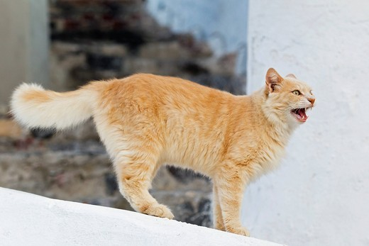 Europe, Greece, Cyclades, Thira, Santorini, Oia, Cat standing on wall : Stock Photo