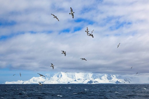 Stock Photo: 1815R-77781 South Atlantic Ocean, Antarctica, Antarctic Peninsula, Gerlache Strait, Cape petrels flying in the sky