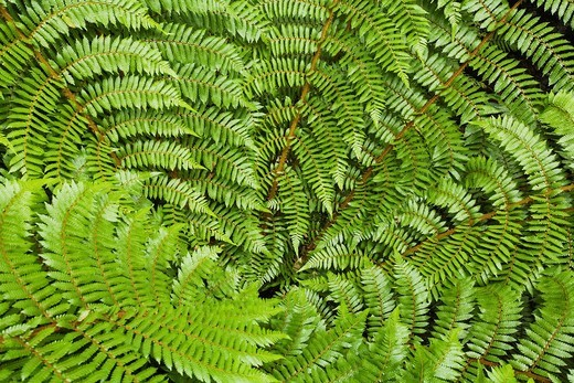 New Zealand, South Island, View of black tree fern : Stock Photo