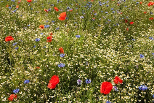 Stock Photo: 1815R-78312 Germany, Cologne, View of Matricaria chamomilla and red, blue poppy flower