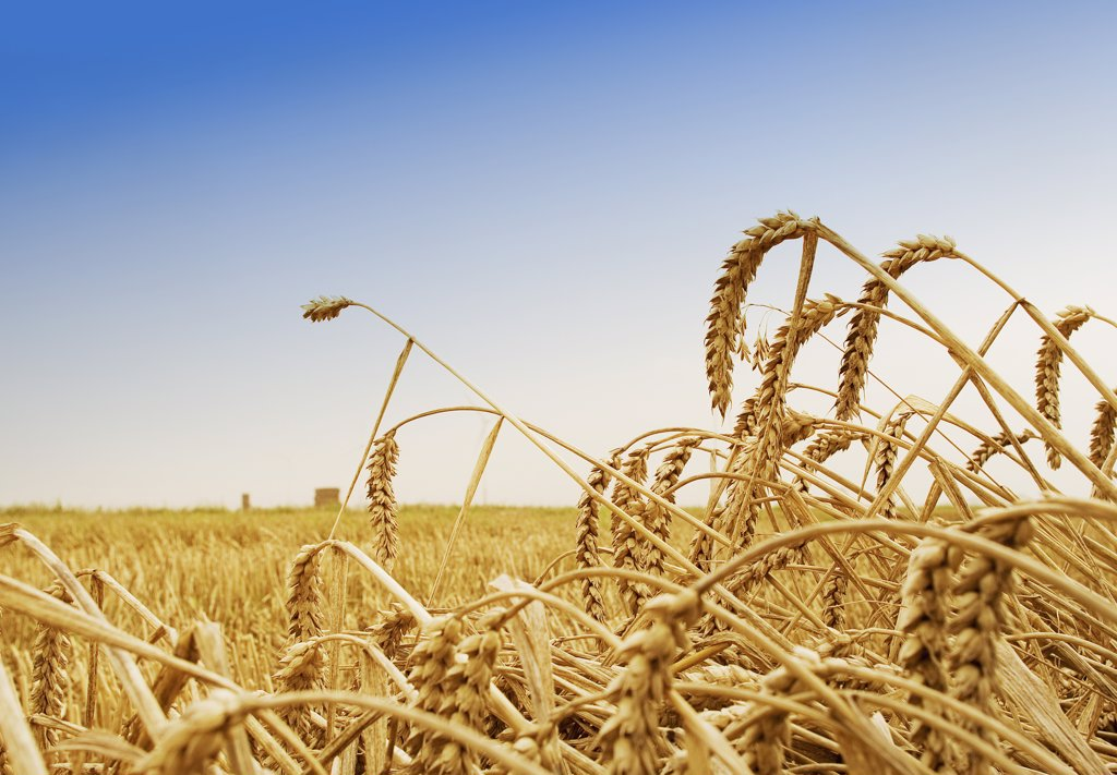 Stock Photo: 1815R-8051 Wheat spikes, Est Frisia, Germany