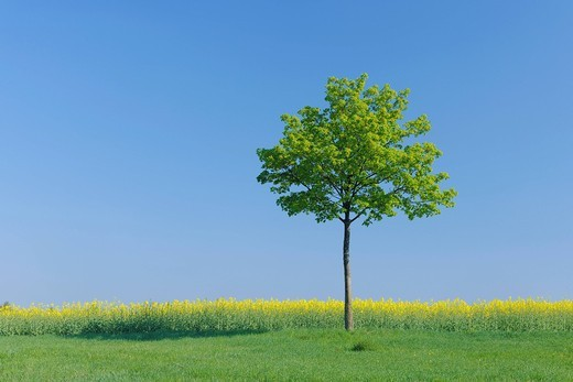 Germany, Bavaria, Franconia, View of single norway maple tree in rape field with blue sky : Stock Photo