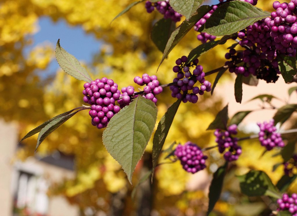 Stock Photo: 1815R-82908 Close up of Bodinier´s beautyberry lat. Callicarpa bodinieri