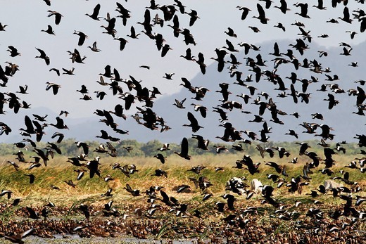 Costa Rica, flying flock of red_billed whistling duck at national park palo verde : Stock Photo