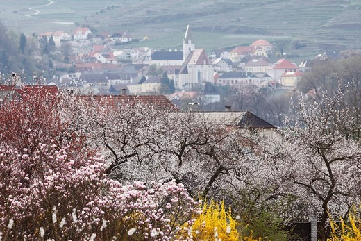 Austria, Lower Austria, Wachau, Spitz, View of town with apricot blossoms in foreground : Stock Photo