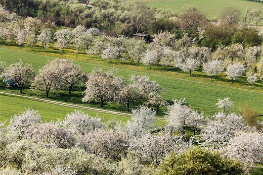 Germany, Bavaria, Franconia, Franconian Switzerland, View of sweet cherry tree blossoms in field : Stock Photo