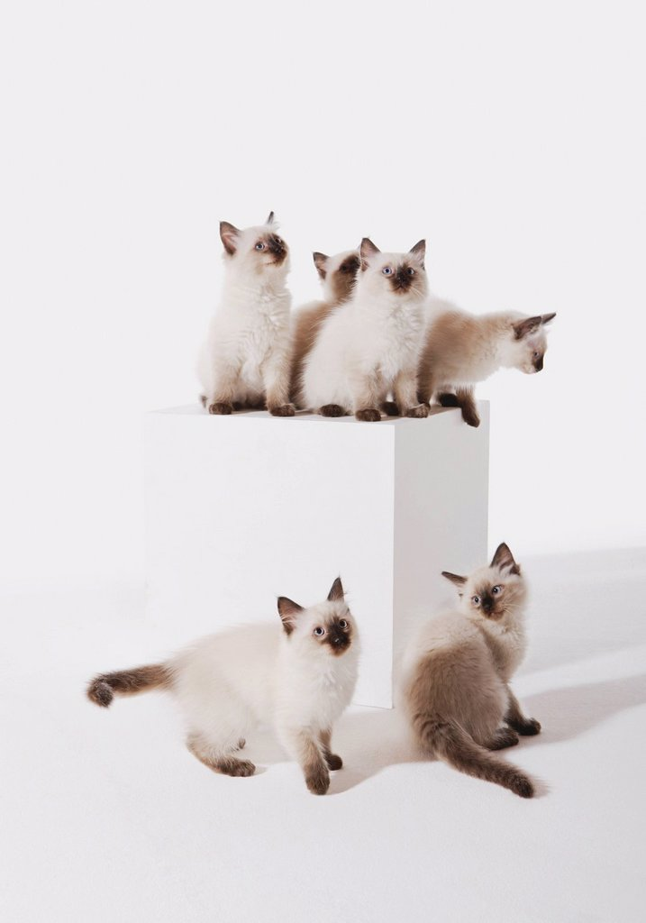 Ragdoll kittens sitting on block against white background : Stock Photo