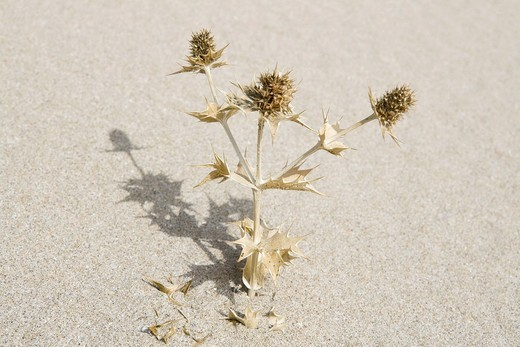 Turkey, Izmir, View of dead thistle plant in sand : Stock Photo
