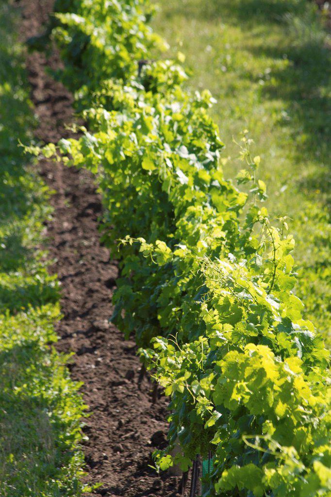 Austria, Lower Austria, Weinviertel, View of vineyard : Stock Photo