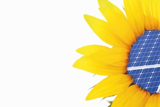 Close up of sunflower with solar panel on white background : Stock Photo