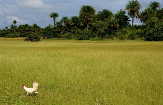 Stock Photo: 1815R-91877 Africa, Guinea_Bissau, Chicken running around park