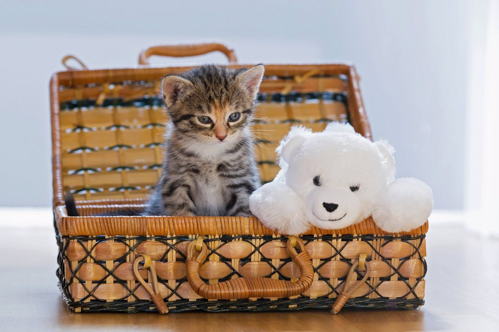 Germany, Kitten with soft toy in box, close up : Stock Photo
