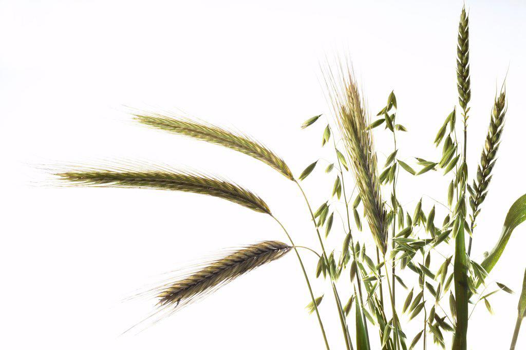 Different grain stalks, close-up : Stock Photo