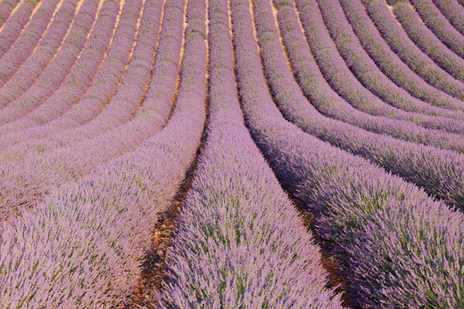 France, Mediterranean Area, Plateau De Valensole, Valensole, View of lavender field : Stock Photo