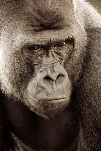 Stock Photo: 1816-102 Close-up of a Western Lowland gorilla (Gorilla gorilla gorilla)