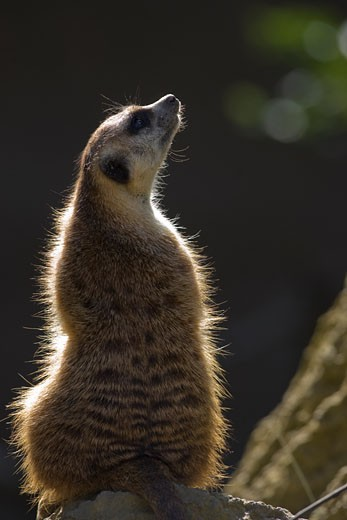 Sentry Meerkat looks to the sky for danger : Stock Photo
