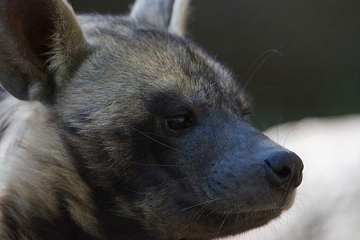 Stock Photo: 1816-149 Close-up of a Striped Hyena (Hyaena hyaena)