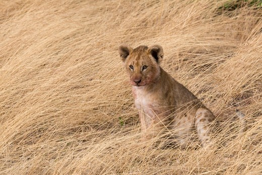 Stock Photo: 1816-168 Lion cub sitting on dried grass, Masai Mara National Reserve, Kenya