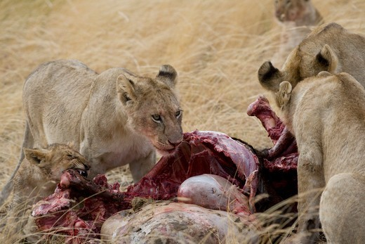 Stock Photo: 1816-205 Kenya, Lions feed on wildebeest carcass in Masai Mara