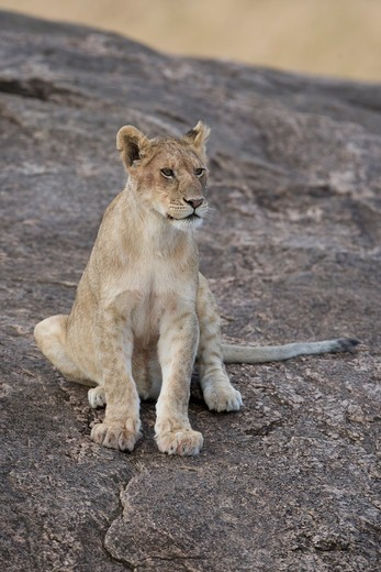 Stock Photo: 1816-206 Kenya, Lion cub in Masai Mara