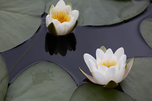 Stock Photo: 1817-134 Water lilies in a pond