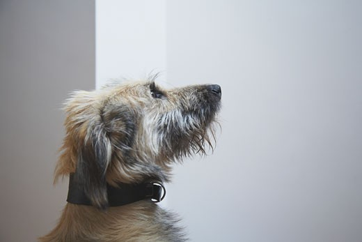 Young dog looking upwards, indoors : Stock Photo