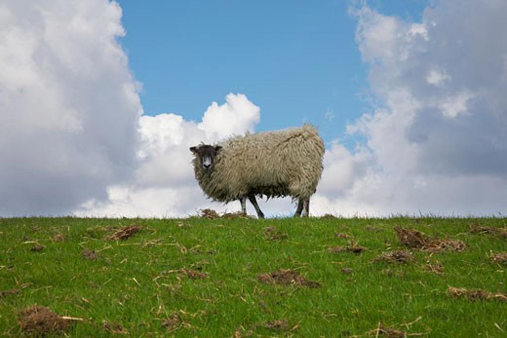 Stock Photo: 1817-242B Single sheep on horizon