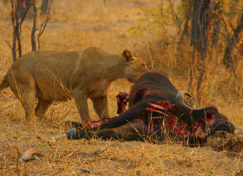 Stock Photo: 1818-123B Lioness (Panthera leo) eating a killed buffalo, Okavango Delta, Botswana