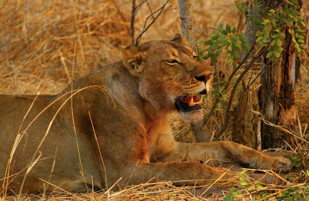 Stock Photo: 1818-125B Lion (Panthera leo) sitting in a forest, Okavango Delta, Botswana