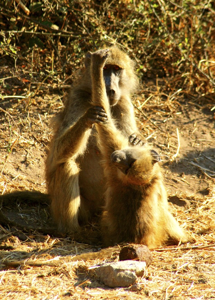 Stock Photo: 1818-131 Chacma baboon (Papio ursinus) with its young grooming among thorn bushes, Chobe National Park, Botswana