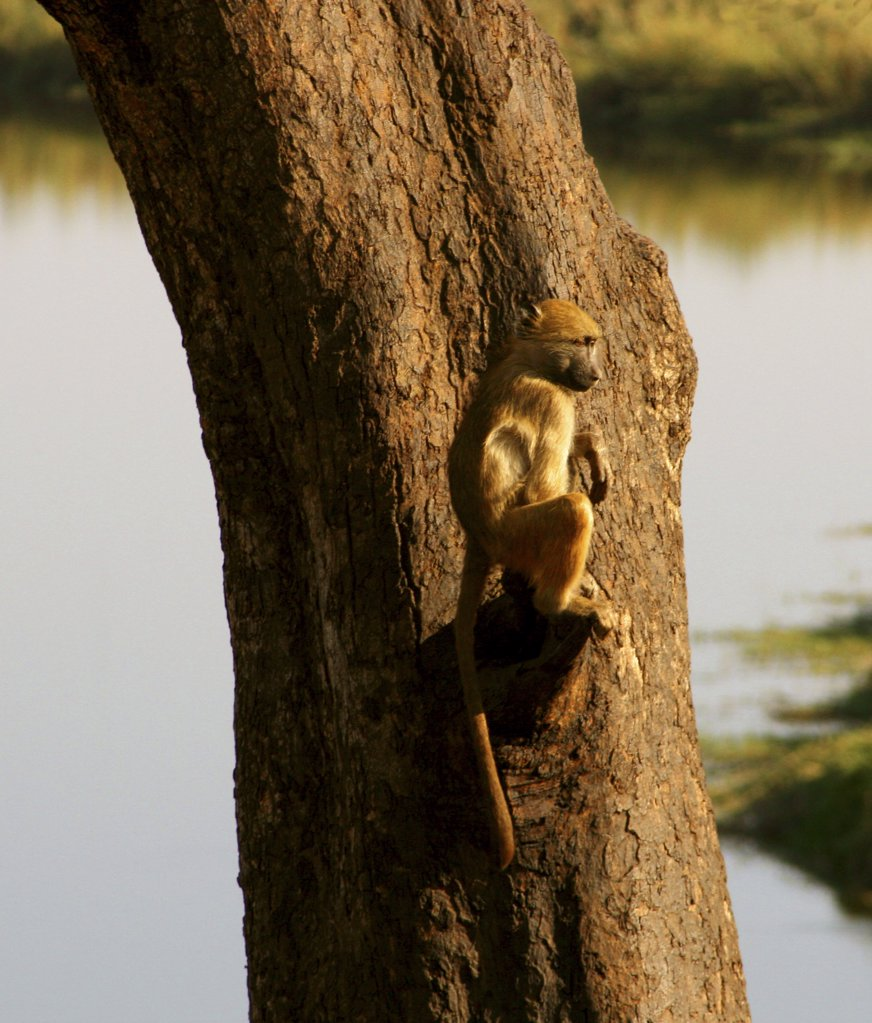 Stock Photo: 1818-134 Chacma baboon (Papio ursinus) sitting on a tree, Chobe National Park, Botswana
