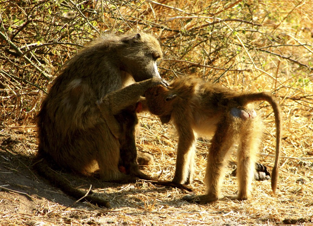 Chacma baboon (Papio ursinus) with its young grooming among thorn bushes, Chobe National Park, Botswana : Stock Photo