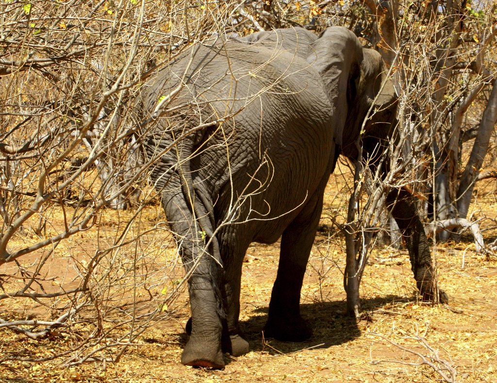 Stock Photo: 1818-167 African elephant (Loxodonta africana) in a forest, Chobe National Park, Botswana