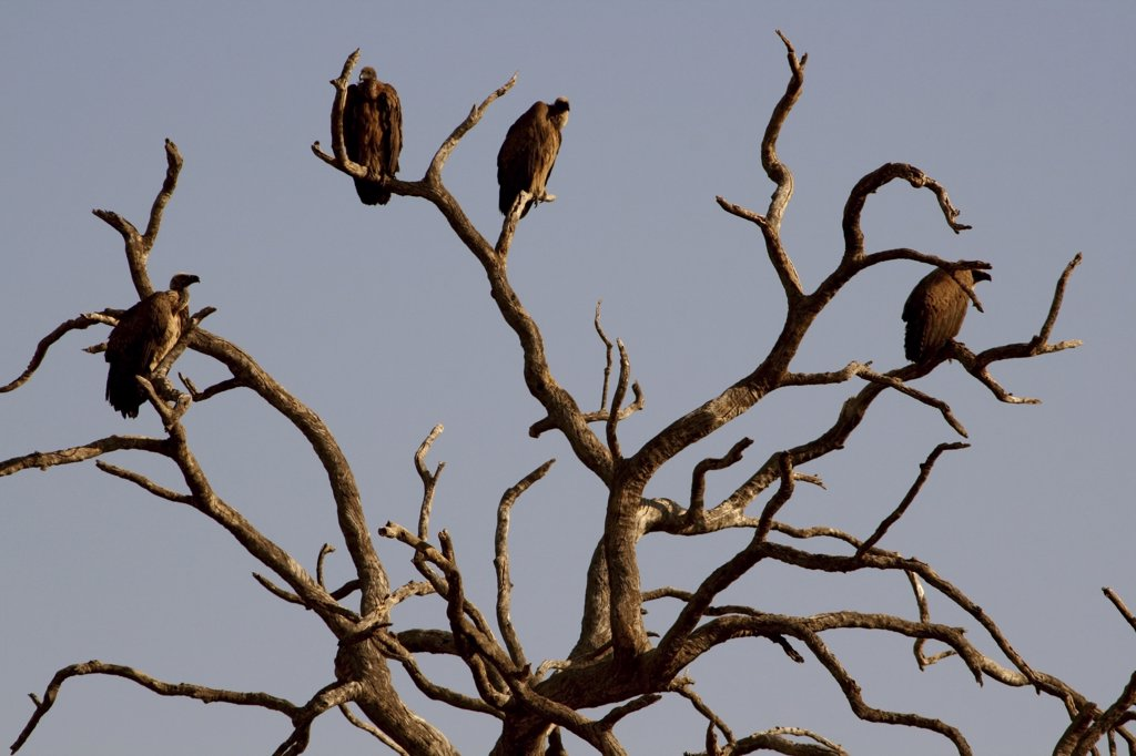 Stock Photo: 1818-198C Vultures perching on a tree, Chobe National Park, Botswana