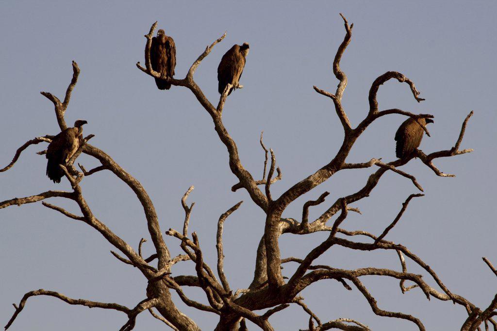 Vultures perching on a tree, Chobe National Park, Botswana : Stock Photo
