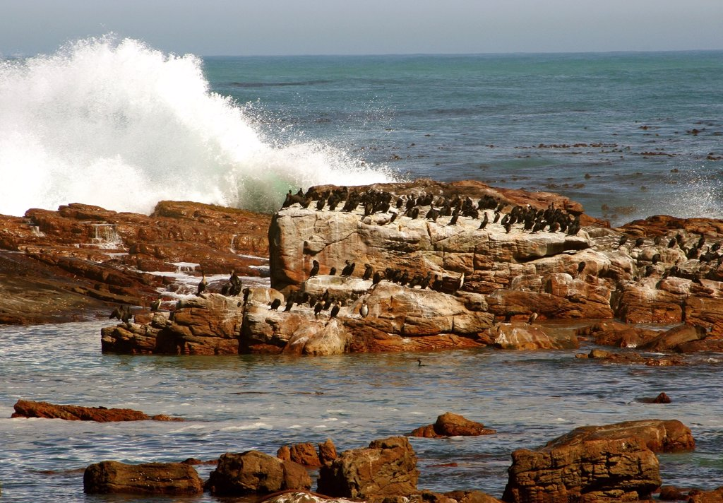 Stock Photo: 1818-211 Flock of cormorants (Phalacrocorax carbo) on rocks, Cape of Good Hope, South Africa