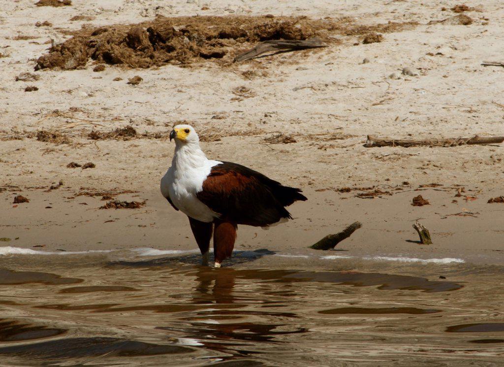 Stock Photo: 1818-212 Osprey (Pandion haliaetus) at the riverside, Botswana