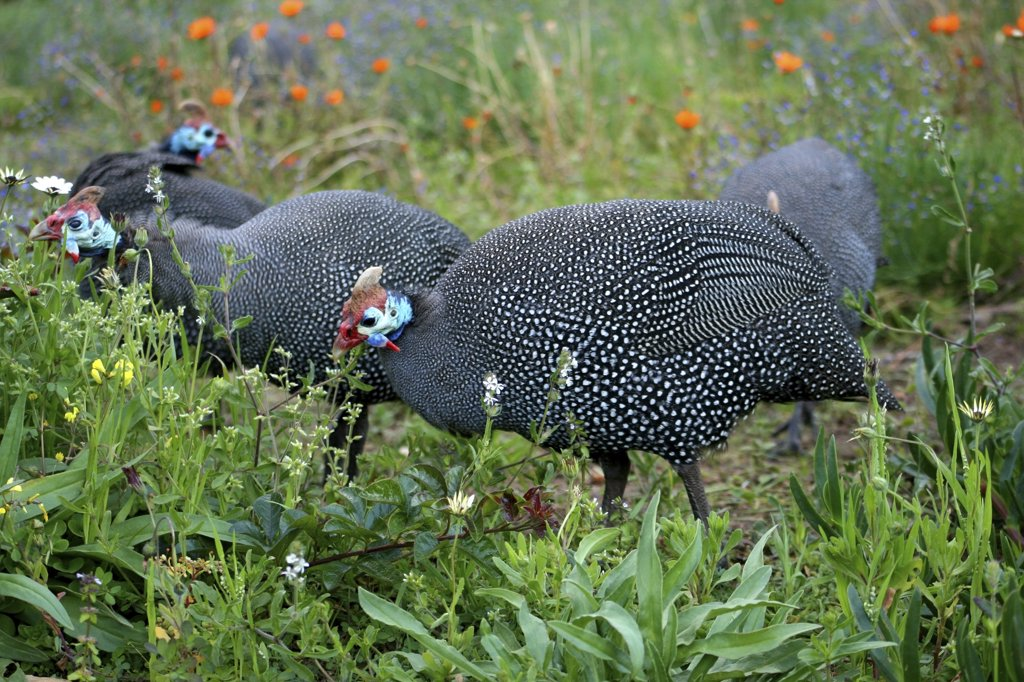 Stock Photo: 1818-213 Guinea fowls foraging, Kirstenbosch National Botanical Garden, Table Mountain, Cape Town, South Africa