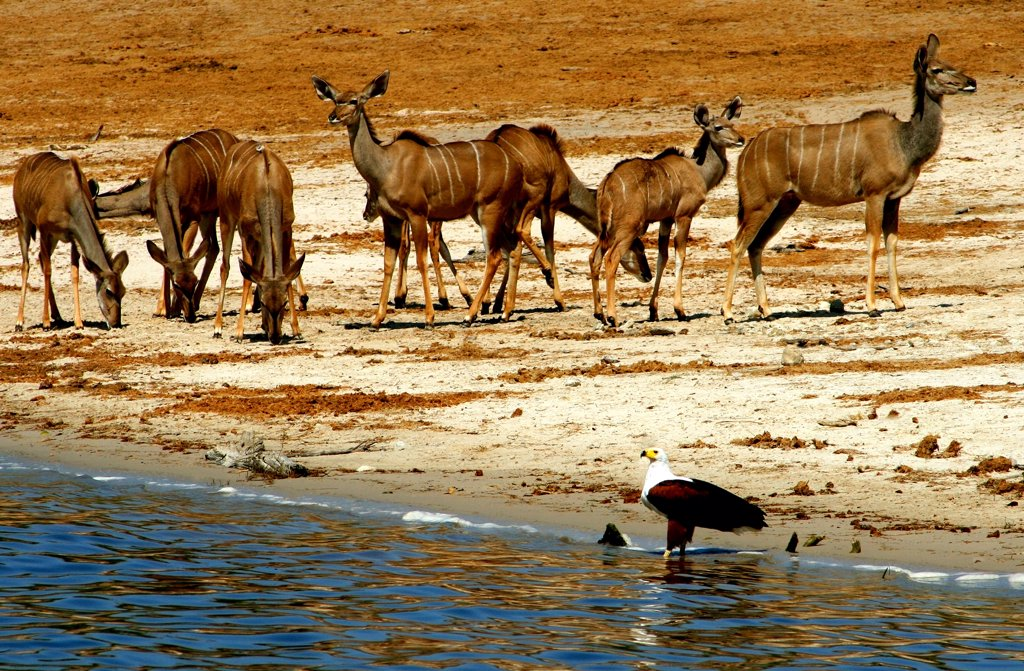 Herd of kudus and an osprey at the riverside, Chobe River, Botswana : Stock Photo